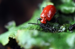 Red Lilly Beetle