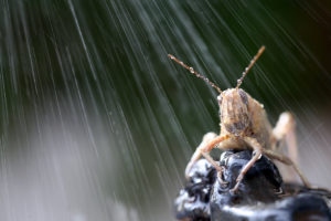This is a photograph of an Egyptian Grasshopper in the Rain