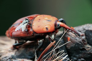 Red-Palm-Weevil-3